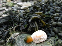 Shells on rock with seaweed background Stock Images