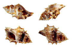 Shells samples. Isolated, four different views of seashell Stock Image