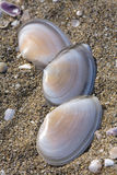 Shells in sand Royalty Free Stock Photography