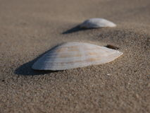 Shells in sand Stock Image