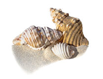 Shells on sand and white background. Three shells on isolated sand background Royalty Free Stock Photo