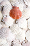 Shells scallops Stock Images