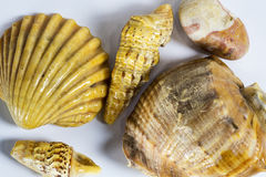 Shells from the sea. Beautiful sea shell from the ocean Royalty Free Stock Photo