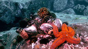 Shells and sea urchins among rocks on seabed. stock footage