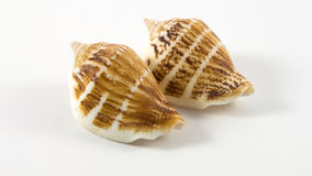 Shells. Sea shells on white background Royalty Free Stock Photo