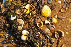 Shells and seaweeds Royalty Free Stock Image