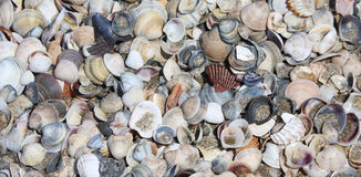 shells on the shore beach in the sea Royalty Free Stock Photo