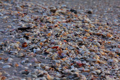 Shells on the shore. Of the Gulf of Mexico in Royalty Free Stock Photo