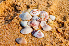 Shells. From the shores of the Indian ocean Stock Photography
