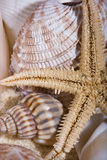 shells sjöstjärnan Arkivfoton