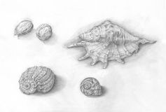 Shells, slak en van het okkernotenpotlood tekening Stock Foto's