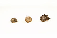 3 shells from small to large. On white background Royalty Free Stock Image