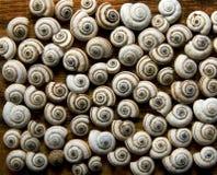 shells snails Fotografering för Bildbyråer
