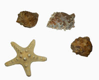 Shells and starfish. Brown shells and starfish on the white background Stock Photography