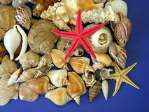 Shells and starfishes Royalty Free Stock Image