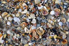 Shells of summer Royalty Free Stock Photography