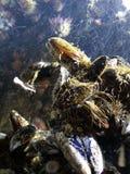 Shells undervattens- Fotografering för Bildbyråer