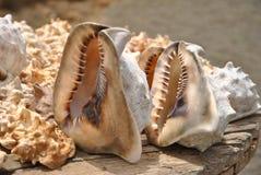 Shells van de Atlantische Oceaan Royalty-vrije Stock Foto