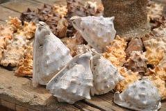 Shells van de Atlantische Oceaan Royalty-vrije Stock Afbeelding
