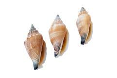 Shells van de Gemeenschappelijke Puist Stock Foto