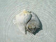Shells van de kroonslak Stock Afbeeldingen