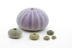 Shells van de zeeëgel Royalty-vrije Stock Foto