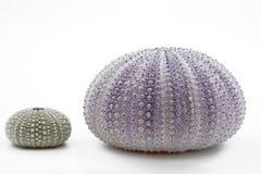 Shells van de zeeëgel Royalty-vrije Stock Foto's