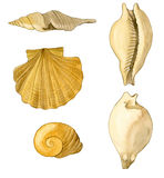 Shells. Various shells made with watercolor and pencil Royalty Free Stock Photo