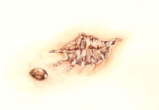 Shells watercolor painting Royalty Free Stock Image