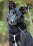 Shelter Border Collie Adoption Photo. Border Collie mixed breed dog animal shelter adoption photo royalty free stock photo