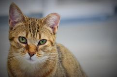 Shelter Cat. A beautiful shelter cat with a tipped ear Royalty Free Stock Photography