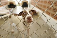 Shelter Dog. Is is a beautiful dog in an animal shelter looking through the fence wondering if anyone is going to take him home today Stock Images