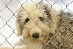 Shelter Dog. Is is a beautiful dog in an animal shelter looking through the fence wondering if anyone is going to take him home today Stock Photography