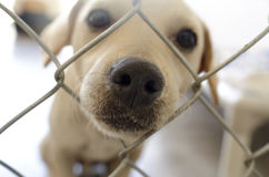 Shelter Dog. Is cute dog in an animal shelter poking his nose through the fence wondering who is going to take him home Royalty Free Stock Photos
