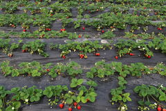 Shelter has matured and is not yet ripe strawberry. Greenhouses, in black mulch, grow the red ripe strawberry, ivory strawberry is not yet mature Stock Photos
