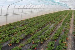 Shelter has matured and is not yet ripe strawberry. Greenhouses, in black mulch, grow the red ripe strawberry, ivory strawberry is not yet mature Royalty Free Stock Image