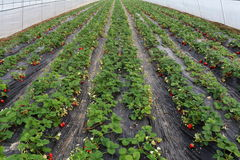 Shelter has matured and is not yet ripe strawberry. Greenhouses, in black mulch, grow the red ripe strawberry, ivory strawberry is not yet mature Stock Image