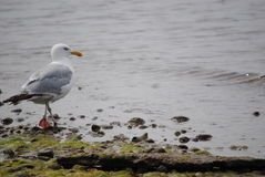 Shelter Island Gull. Shelter Island new york seagull wonderful non Hamptons island to visit royalty free stock image