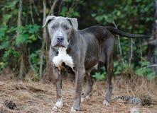 Shelter Mastiff Adoption Photo. Great Dane Mastiff mixed breed dog animal shelter adoption photo royalty free stock photography