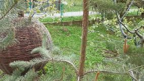 Shelter wattle for birds in the garden. Pine branches breeze moving stock video footage