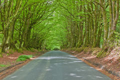 Sheltered Rural Road. Rural road sheltered by a canopy of overhanging beech trees (fagus sylvaticus) at springtime in North Devon UK Stock Photography