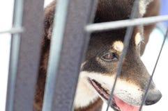 Sheltered Shiba Inu Dog royalty free stock photo