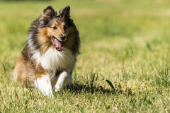 Shelti sheepdog running on a meadow Royalty Free Stock Image