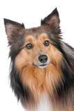 sheltie портрета собаки стоковое изображение