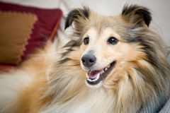 Sheltie Stock Photography