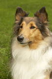 Sheltie royalty-vrije stock foto's