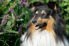 sheltie Royaltyfria Bilder
