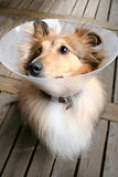Sheltie. Brown sheltie wearing a big collar and looking sad Stock Photo