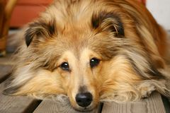 Sheltie. Brown sheltie laying on patio and enjoying summer Royalty Free Stock Photography
