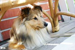 Sheltie. Brown sheltie laying under the patio chair Royalty Free Stock Images